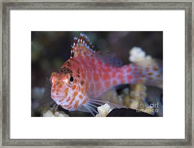 Pixy Hawkfish, Kimbe Bay, Papua New Framed Print by Steve Jones