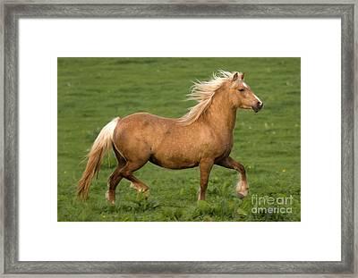 Prancing Pony Framed Print by Angel  Tarantella