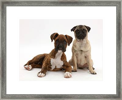 Pug Puppy Framed Print by Mark Taylor