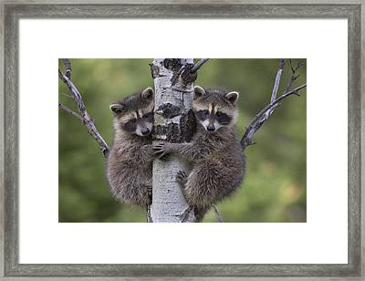 Raccoon Two Babies Climbing Tree North Framed Print by Tim Fitzharris