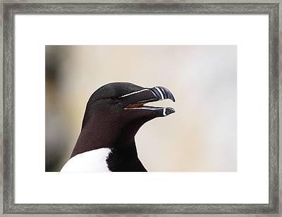 Razorbill Portrait Framed Print by Bruce J Robinson