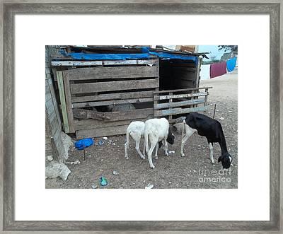 Reality Bites Goats Framed Print by Fania Simon