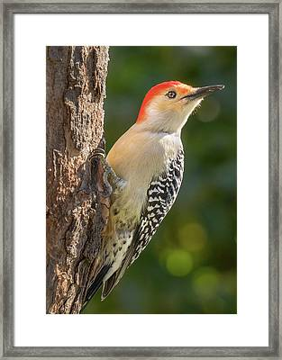 Red Bellied Woodpecker Framed Print by Jim Hughes