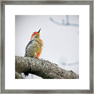 Red Bellied Woodpecker Framed Print by LeeAnn McLaneGoetz McLaneGoetzStudioLLCcom