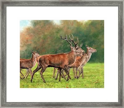 Red Deer Framed Print by David Stribbling
