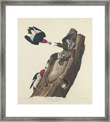 Red-headed Woodpecker Framed Print by John James Audubon