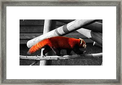 Red Panda Framed Print by Martin Newman