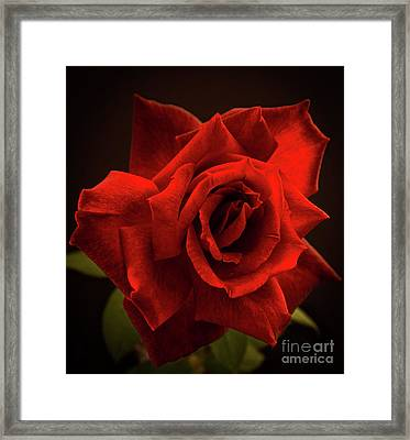 Red Rose Framed Print by Zina Stromberg