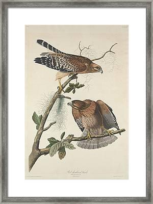Red Shouldered Hawk Framed Print by John James Audubon