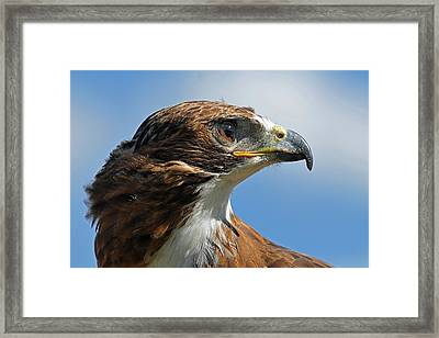 Red-tailed Hawk Framed Print by Alan Lenk