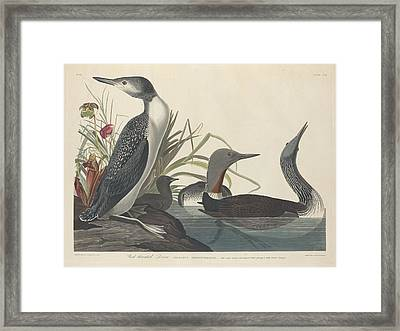 Red-throated Diver Framed Print by John James Audubon
