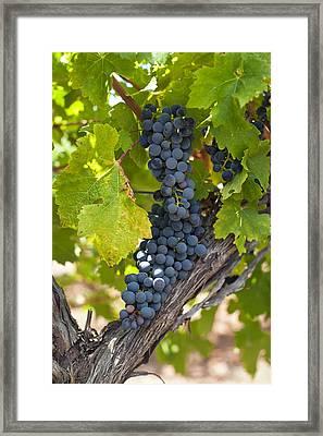 Red Vines Framed Print by Ulrich Schade