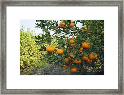 Ripe Mandarins Framed Print by Inga Spence
