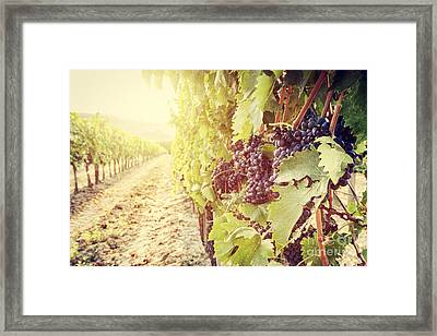 Ripe Wine Grapes On Vines In Tuscany Vineyard, Italy Framed Print by Michal Bednarek