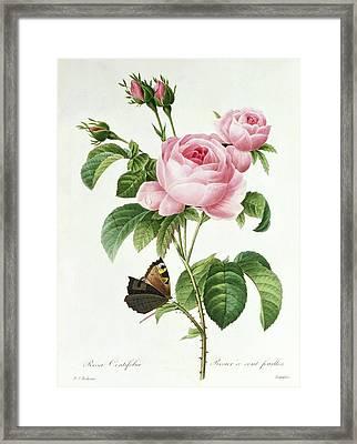 Rosa Centifolia Framed Print by Pierre Joseph Redoute