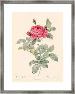 Rosa Gallica Pontiana Framed Print by Pierre Joseph Redoute
