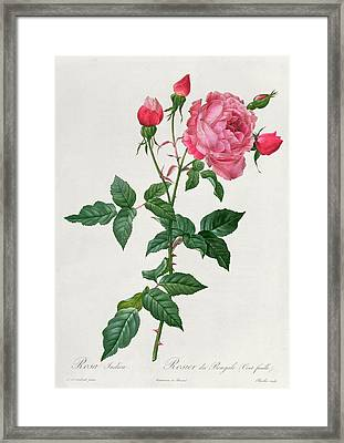Rosa Indica Framed Print by Pierre Joseph Redoute