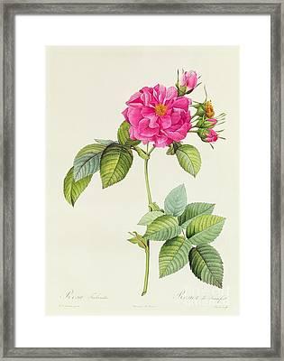 Rosa Turbinata Framed Print by Pierre Joseph Redoute