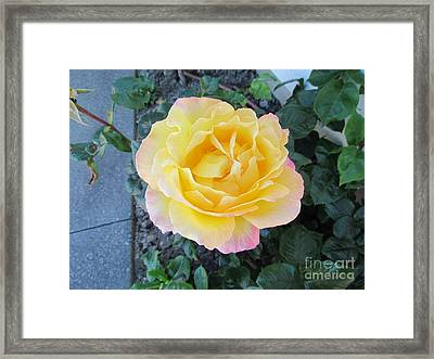 Rose Framed Print by Joyce Woodhouse
