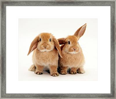 Sandy Lop Rabbits Framed Print by Jane Burton