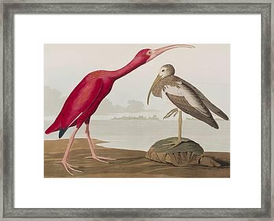 Scarlet Ibis Framed Print by John James Audubon