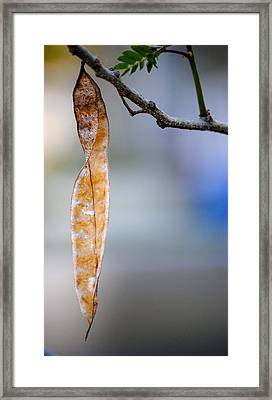Seed Pod Framed Print by Bransen Devey