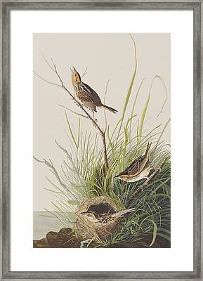 Sharp Tailed Finch Framed Print by John James Audubon