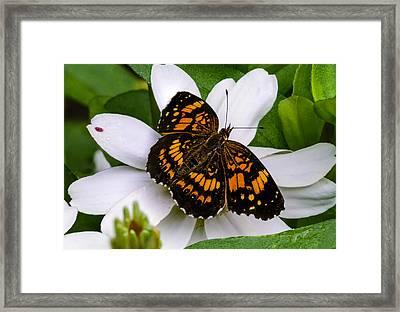 Silvery Checkerspot Butterfly On White Flower Framed Print by Steve Samples