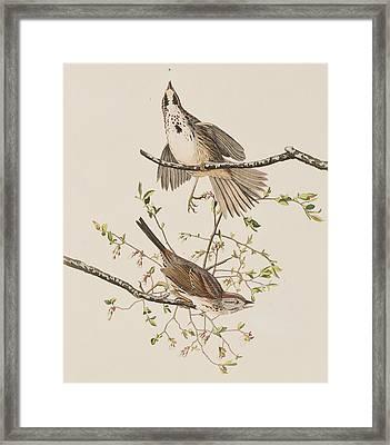 Song Sparrow Framed Print by John James Audubon