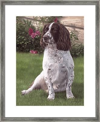 Springer Spaniel Painting Framed Print by Rachel Stribbling