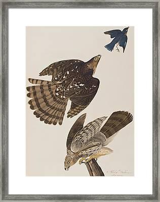 Stanley Hawk Framed Print by John James Audubon