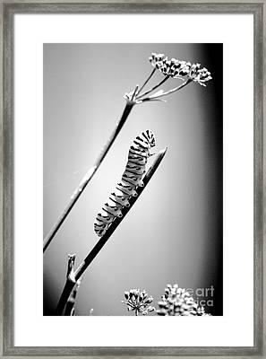 Striped Caterpillar Closeup Macro Black And White Framed Print by Shawn O'Brien