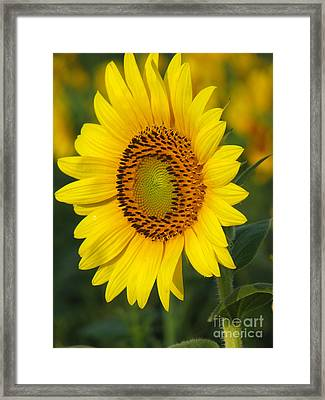 Sunflower Framed Print by Amanda Barcon