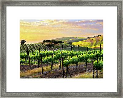 Sunset Vineyard Framed Print by Sharon Foster