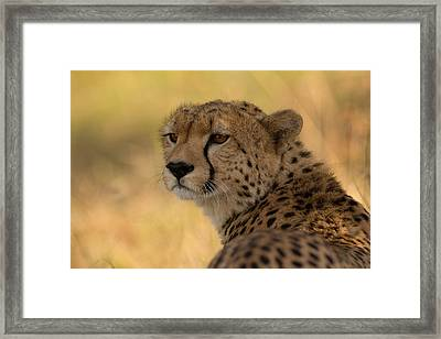 Tears Of A Cheetah Framed Print by Ashley Vincent