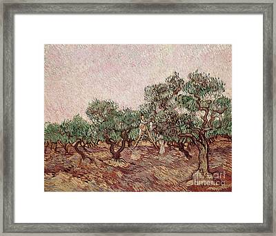 The Olive Pickers Framed Print by Vincent van Gogh