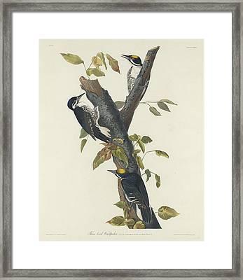 Three-toed Woodpecker Framed Print by John James Audubon
