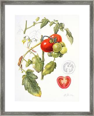 Tomatoes Framed Print by Margaret Ann Eden