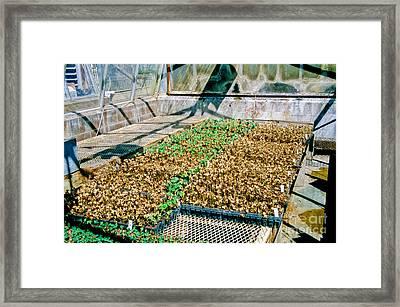 Transgenic Cotton Plants Framed Print by Inga Spence