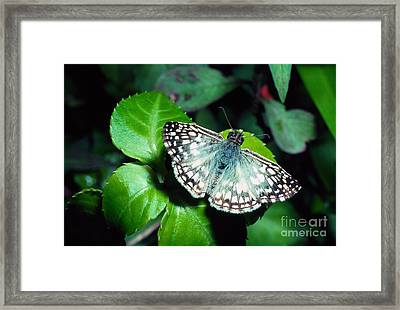 Tropical Checkered Skipper Framed Print by Thomas R Fletcher