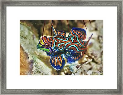Tropical Fish Mandarinfish Framed Print by MotHaiBaPhoto Prints