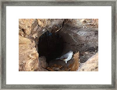 Tufted Titmouse In A Log Framed Print by Ted Kinsman