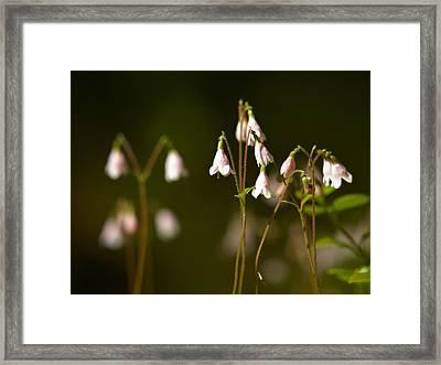 Twinflower Framed Print by Jouko Lehto
