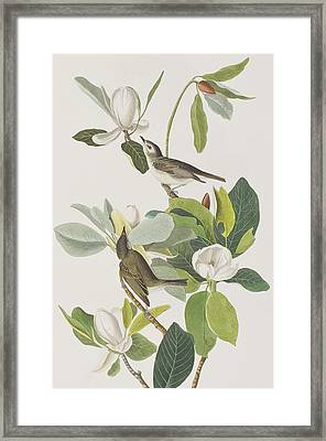 Warbling Flycatcher Framed Print by John James Audubon