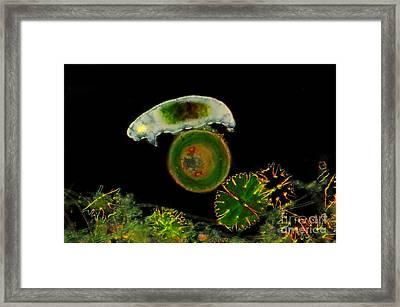 Water Bear, Tardigrade Sp., Lm Framed Print by Marek Mis
