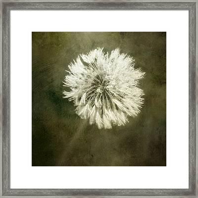 Water Drops On Dandelion Flower Framed Print by Scott Norris