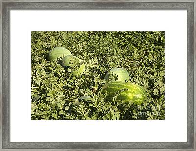 Watermelons In A Field Framed Print by Inga Spence