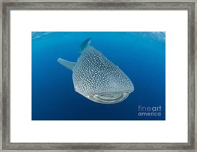 Whale Shark Descending To The Depths Framed Print by Mathieu Meur