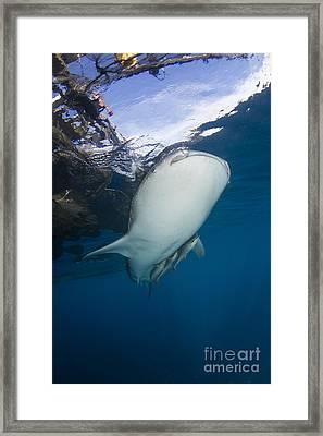 Whale Shark Swimming Under Bagan Framed Print by Mathieu Meur