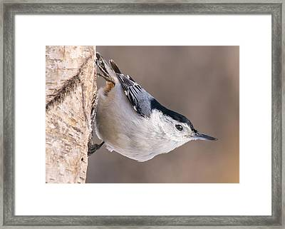 White-breasted Nuthatch Framed Print by Jim Hughes